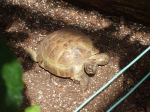 Lamberton tortoise