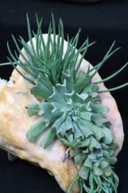 succulent show