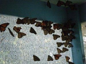 Butterflies at 2012 Fair