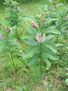 WNY native milkweed
