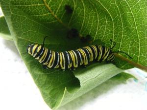 Clarence caterpillar
